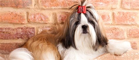 where did shih tzu come from bil jac breed history shih tzu