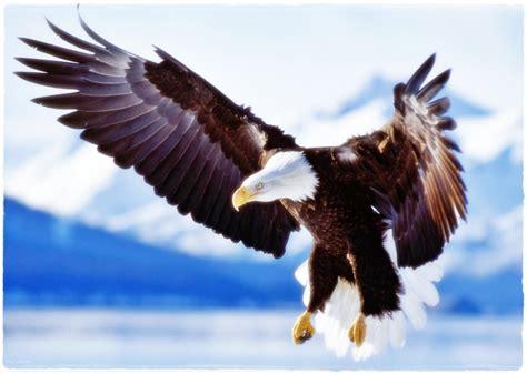 wallpaper elang emas hewan lucu 2016 hewan burung elang images