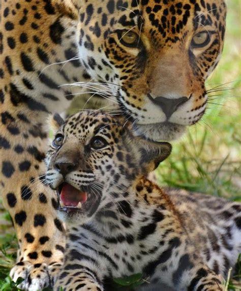 Imagenes Del Jaguar Con Sus Crias   8 mejores im 225 genes sobre animales en pinterest enamorado