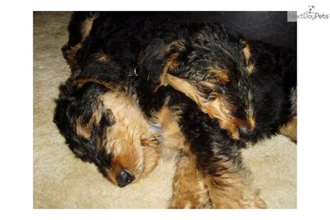 airedale puppies for sale near me airedale terrier for sale for 1 100 near lansing michigan acb09ed1 5181