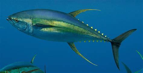yellowfin boat drawing tuna fish yellowfin bluefin nutrition calories