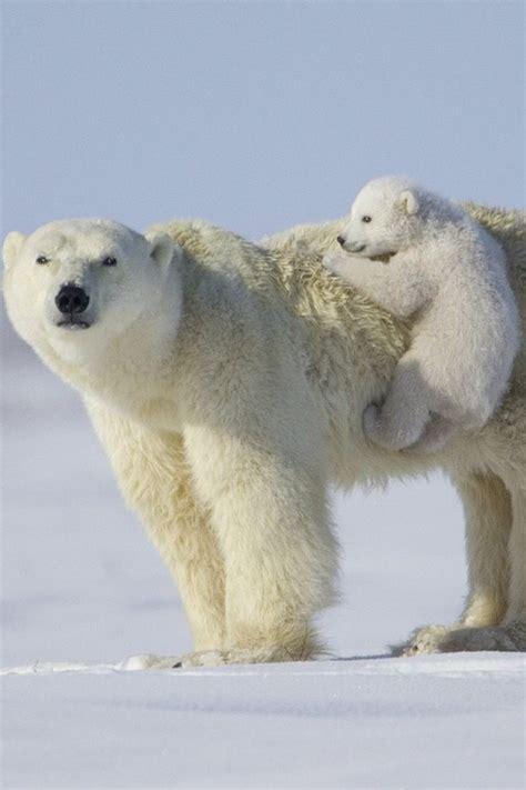bbbear polar 210 best animal polar images on