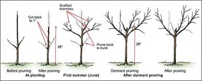 how to prune fruit trees pruning trees lawn n garden ideas