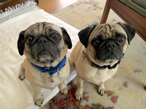 can pugs be trained a pair of santa pugs to focus so they can calm and listen