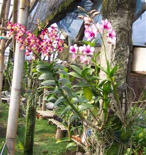 Pot Anggrek Dari Pakis cara menanam bunga anggrek hias