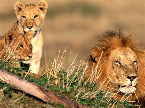 imagenes de leones misticos sfondi desktop animali