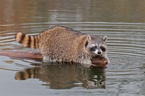 raccoon and california raccoon seasons and trapping we ve moved to www legallabrador org