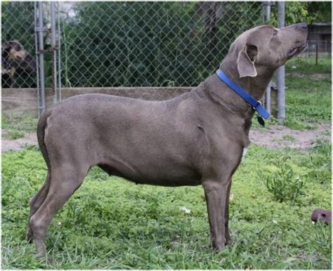 Blue Lacy Facts Pictures Puppies Breeders Price Temperament Animals Adda