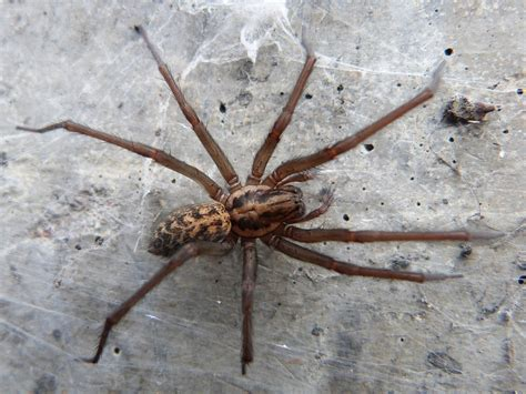 giant house spider giant house spiders the size of mice invading uk homes following warm wet summer