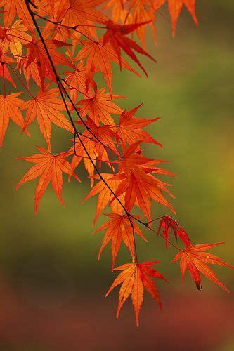 Japanische Gärten Pflanzen 926 by 紅葉 2 Momiji Autumn Splendor Japan