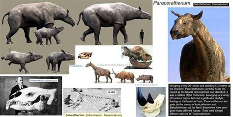 Paraceratherium | Fossil:Paraceratherium(Genus ) & (Genus ... World's Biggest Nose Pictures