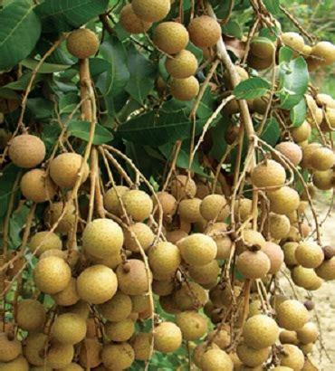 Harga Bibit Kelengkeng Rasa Durian tanaman kelengkeng river jual tanaman hias