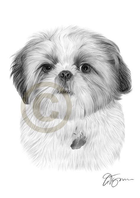 shih tzu drawings pencil drawing of a shih tzu by artist gary tymon