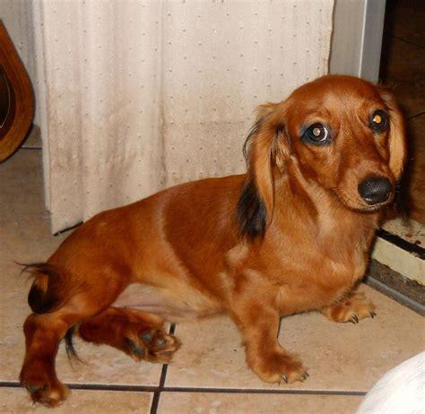 dachshund puppies florida breeder mini dachshund puppy orlando florida akc doxie puppy home