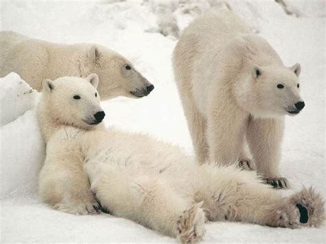 Bears White white pictures to pin on pinsdaddy