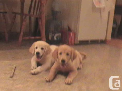 canadian golden retriever puppies for sale golden retriever puppies for sale in cornwall ontario classifieds