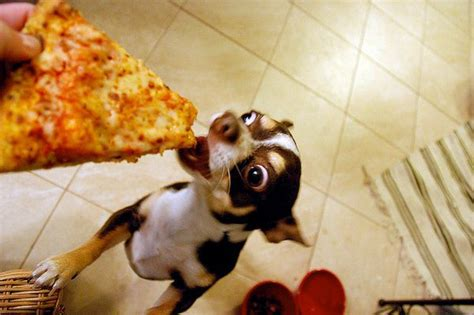 pizza puppy 11 dogs who junk food squee rover