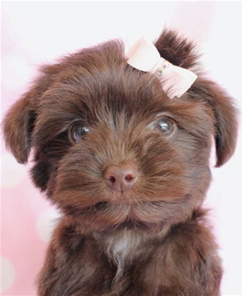 where can i buy a yorkie poo puppy best 25 yorkie poo puppies ideas on yorki poo yorkie poodle and yorkie