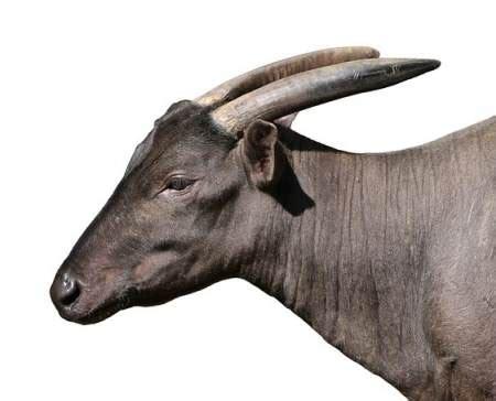 lanoa est  petit animal bovide