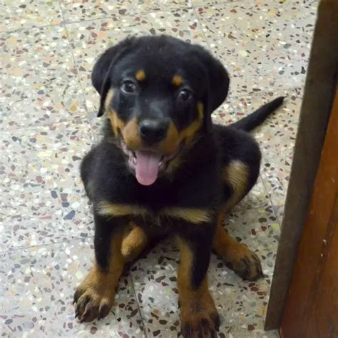 3 month rottweiler what does a 3 months rottweiler look like