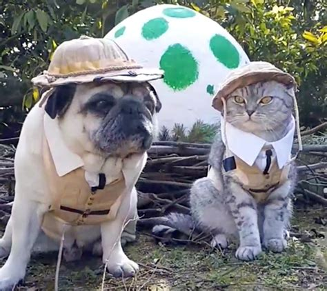 pug cat jurassic bark pug and cat dress up in safari fir hilarious storytrender