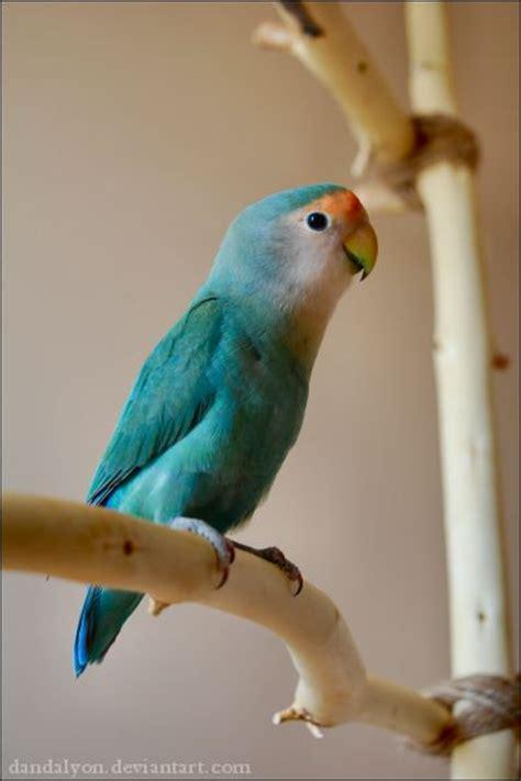 lovebird colors blue mutation birds parrots