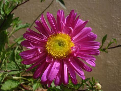 Pretty Aster Flower Picutre Jpg Hi Res 720p Hd Aster Flower Gallery