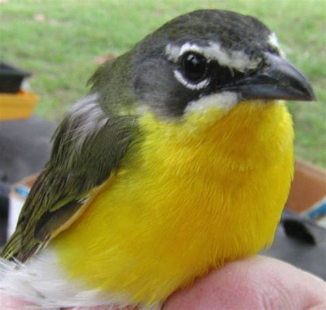 bird with yellow chest myideasbedroom com