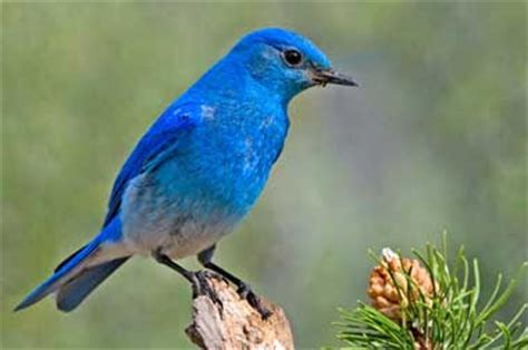 nevada state bird mountain bluebird pictures state birds