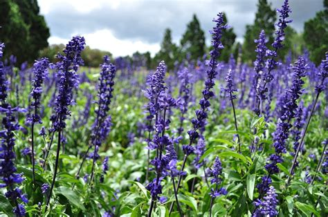 fresh lavender 12 of the best uses for lavender essential you should