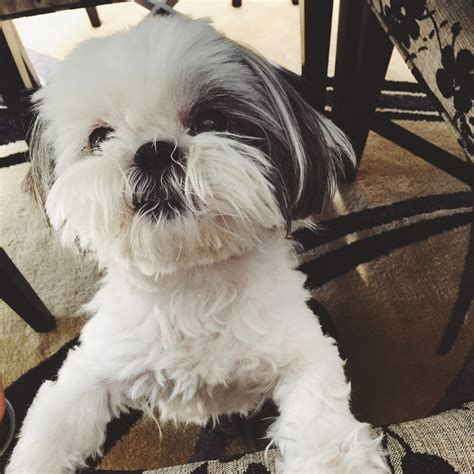 best shih tzu names 28 best shih tzu names shih tzu daily