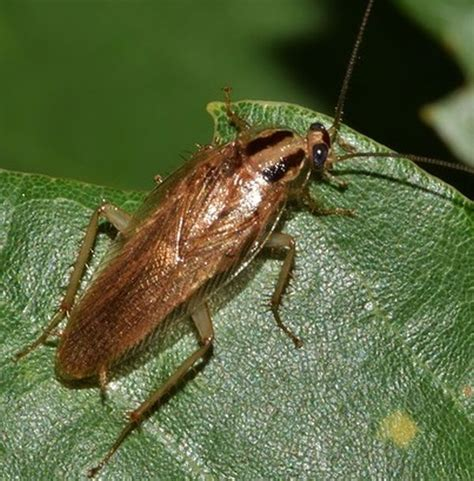 bilder kakerlaken erkennen die  bekanntesten schabenarten