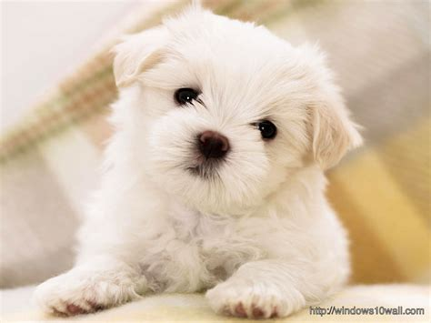 free small dogs wallpaper page 148 windows 10 wallpapers