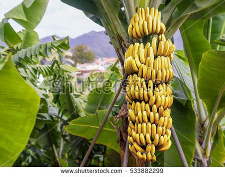 bananas on tree banana tree stock images royalty free images vectors