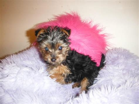 fluffy yorkie fluffy tea cup yorkie for stud bedford bedfordshire pets4homes