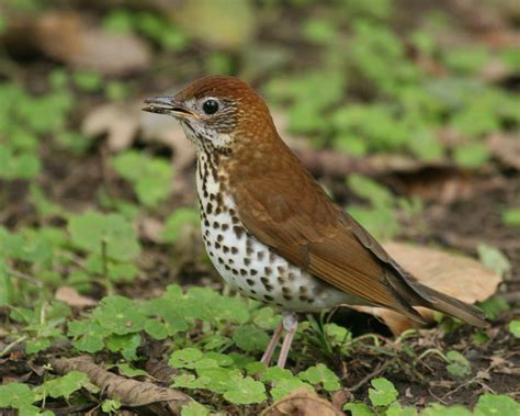 birds wood thrush