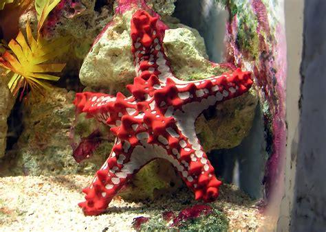 Knobbed Starfish file knobbed starfish arp jpg wikimedia commons
