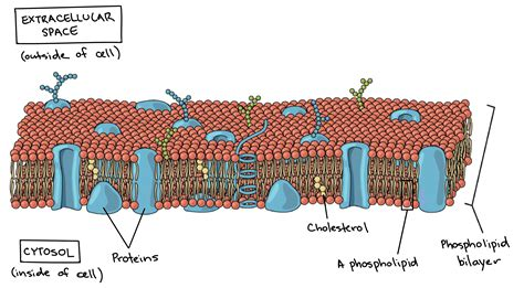 farahin prokaryotic cells