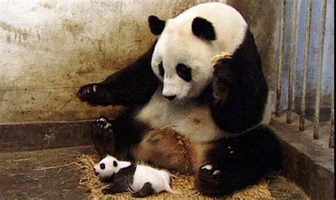 Sneezing Panda Meme - viral sneezing baby panda clip to become mockumentary