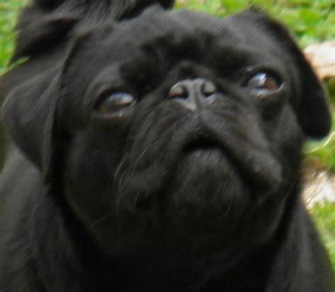 buy black pug black pug photograph black pug print