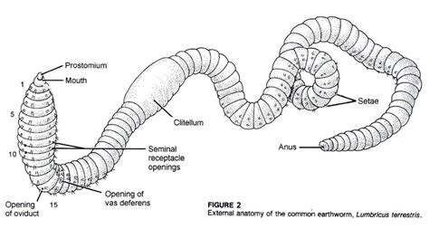 earthworm setae diagram external view of common earthworm anatomy note