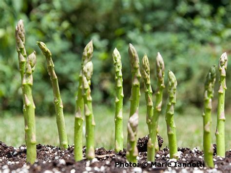 Asparagus Planter by How To Grow Asparagus Tips And Tricks