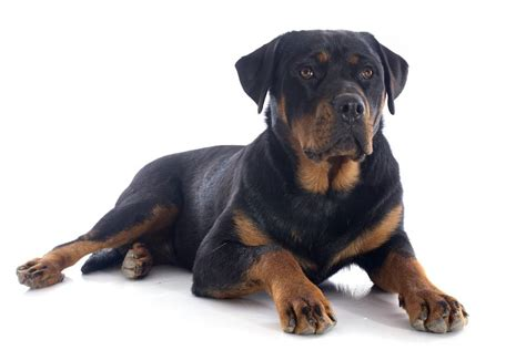 shortest living breed these are the shortest living breeds