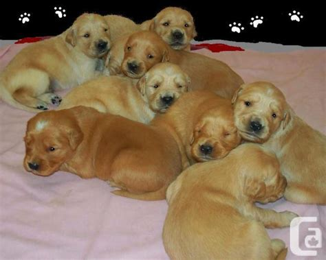 golden retriever puppies for sale 200 golden retriever puppies for sale in brockville ontario classifieds canadianlisted