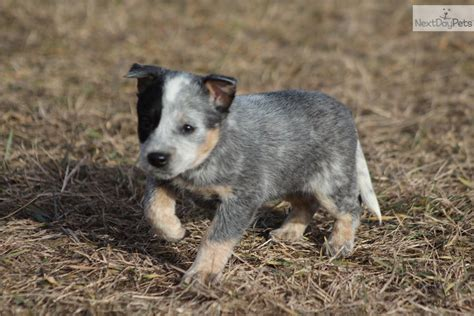 blue heeler mix puppies for sale heeler australian shepherd mix puppies for sale in blue heeler breeds picture