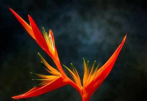 bird  paradise flower  photo  pixabay