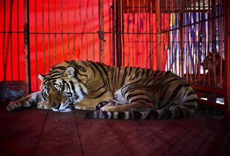 tigre in gabbia quella entra nella gabbia perch 233 voleva fare le
