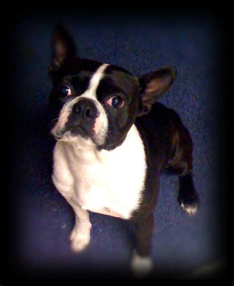 how much should an 8 week puppy eat how much you should feed your boston boston terrier secrets