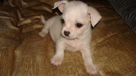 maltese chihuahua puppies maltese x chihuahua babies stockton on tees county durham pets4homes