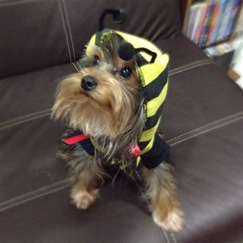 yorkie bee sting 25 best images about yorkie on grace o malley puppys and